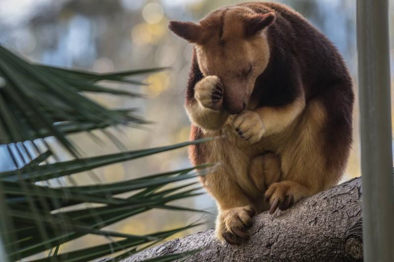Simbu the tree kangaroo settles in at the National Zoo & Aquarium
