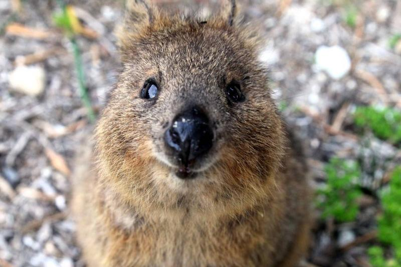 quokka (rabbit-sized brown animal) looking up at camera