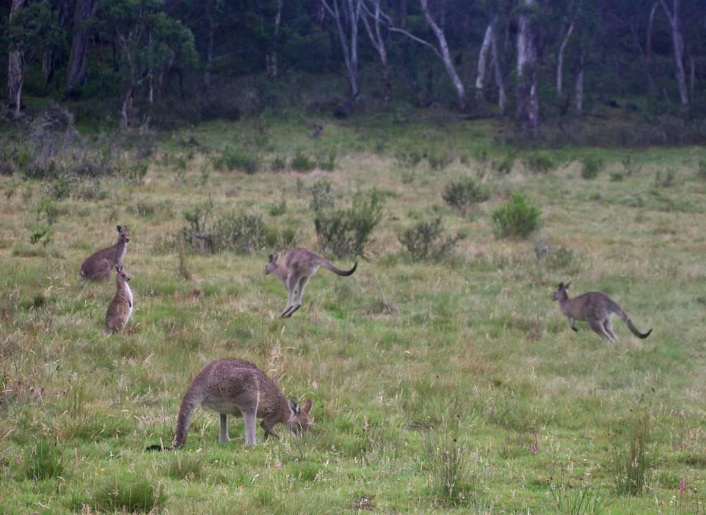 kangaroos in a field