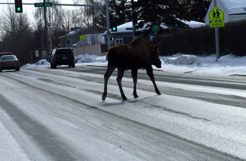 moose walking across the street