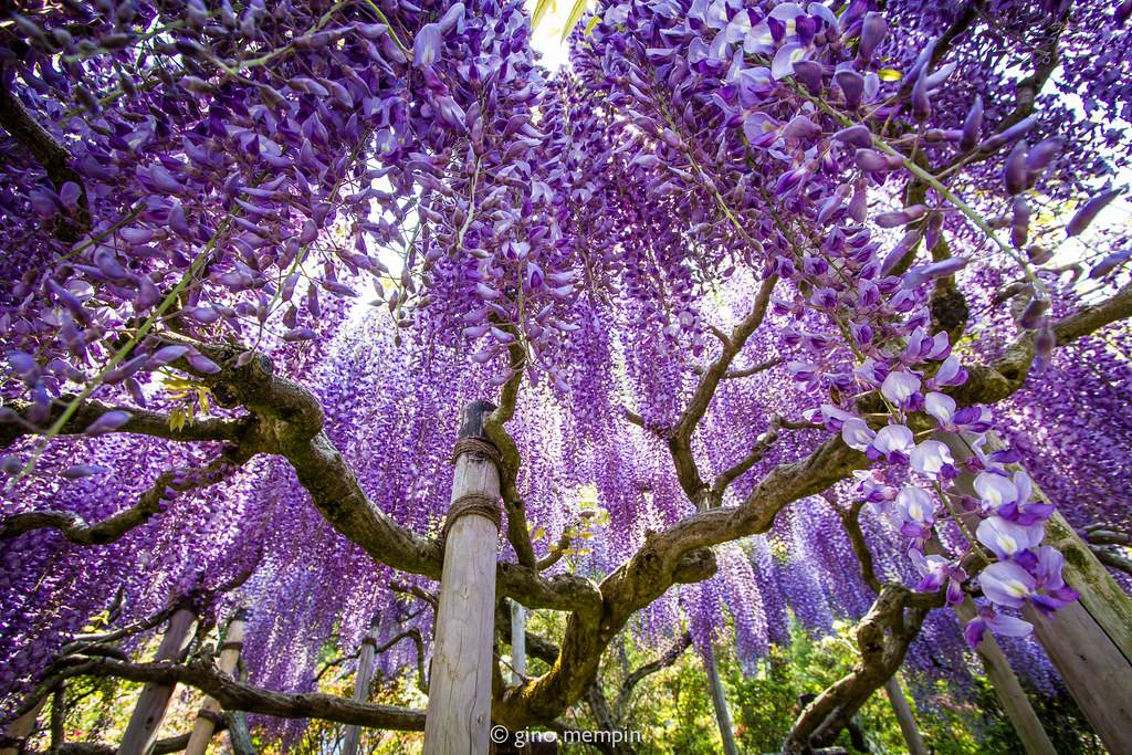 wisteria tree in Japan