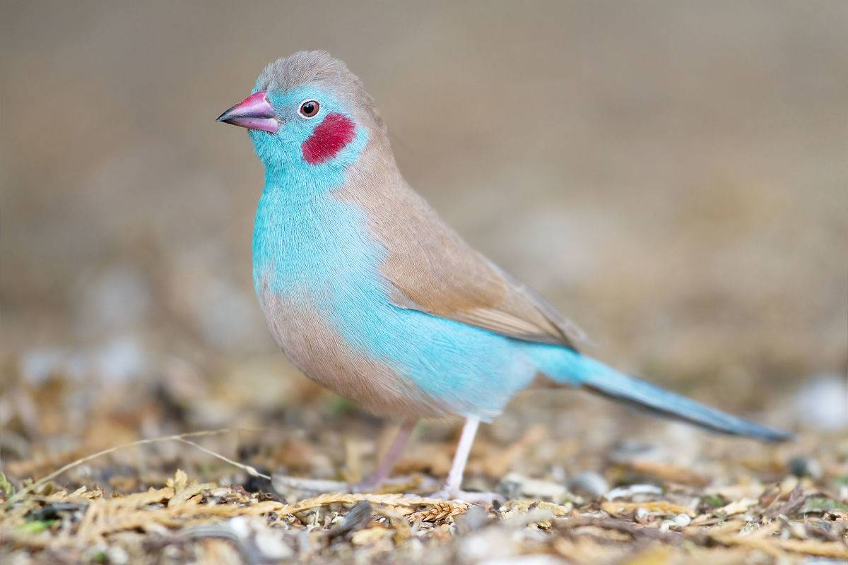 light blue bird with red coloring on cheeks
