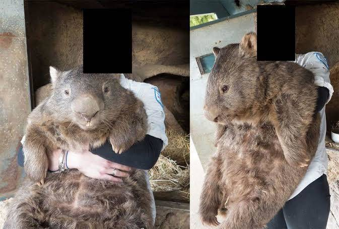 wombat is half the size of a human