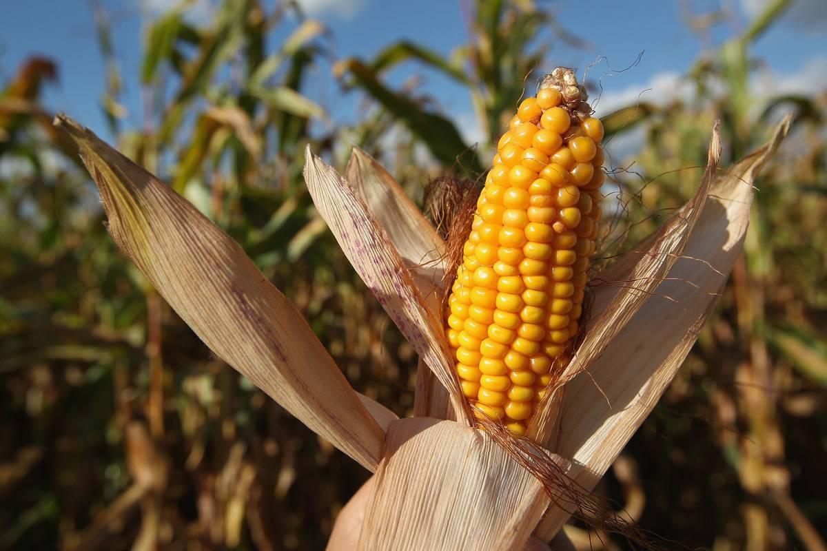 The photographer holds an ear of corn