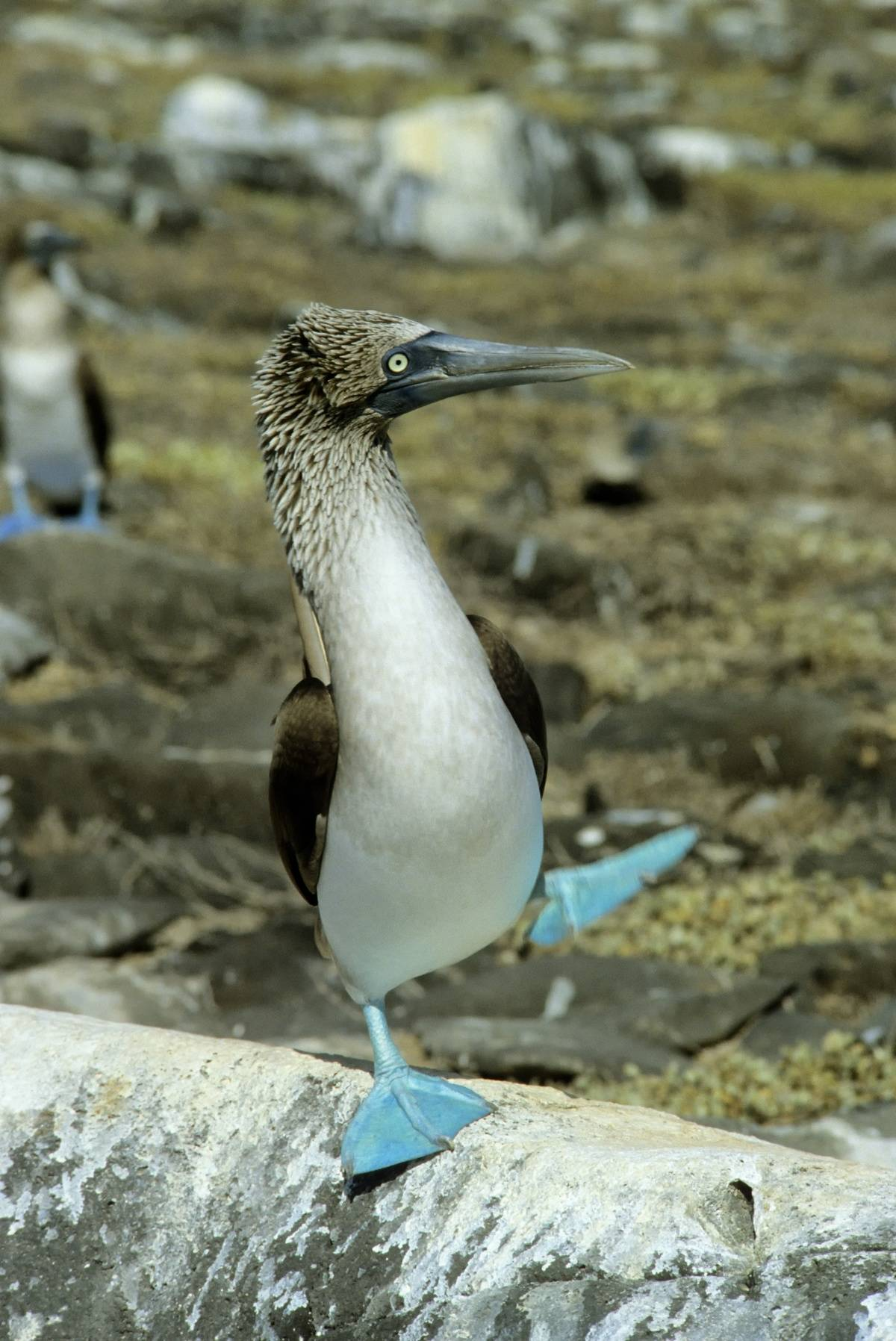 Galapagos Islands,hood Island Blue-footed Booby, Mating Dance