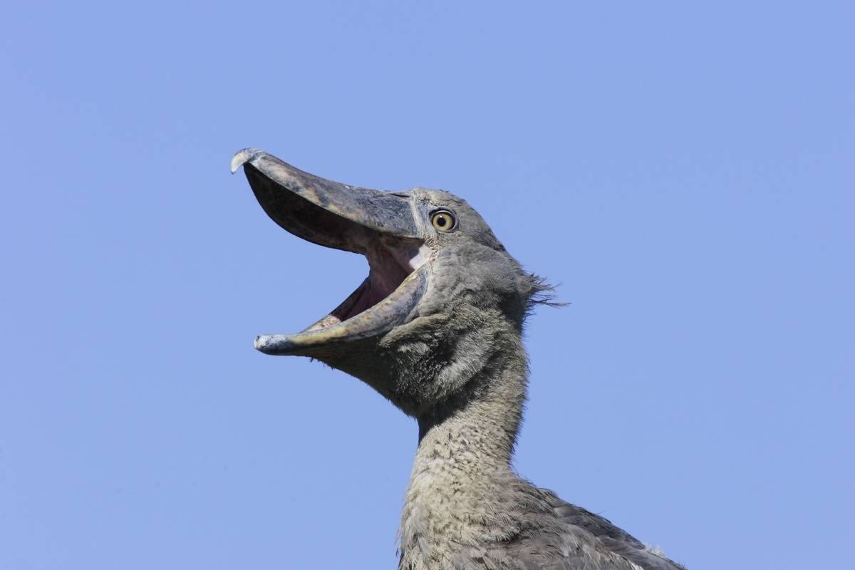 bird with enormous beak and mouth open