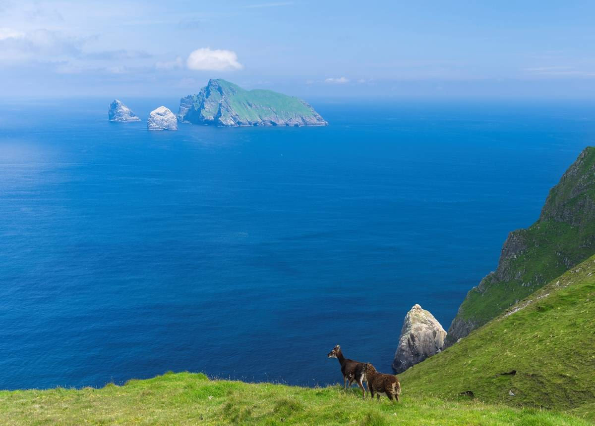 goats stand on grass of The islands of St Kilda archipelago in Scotland.