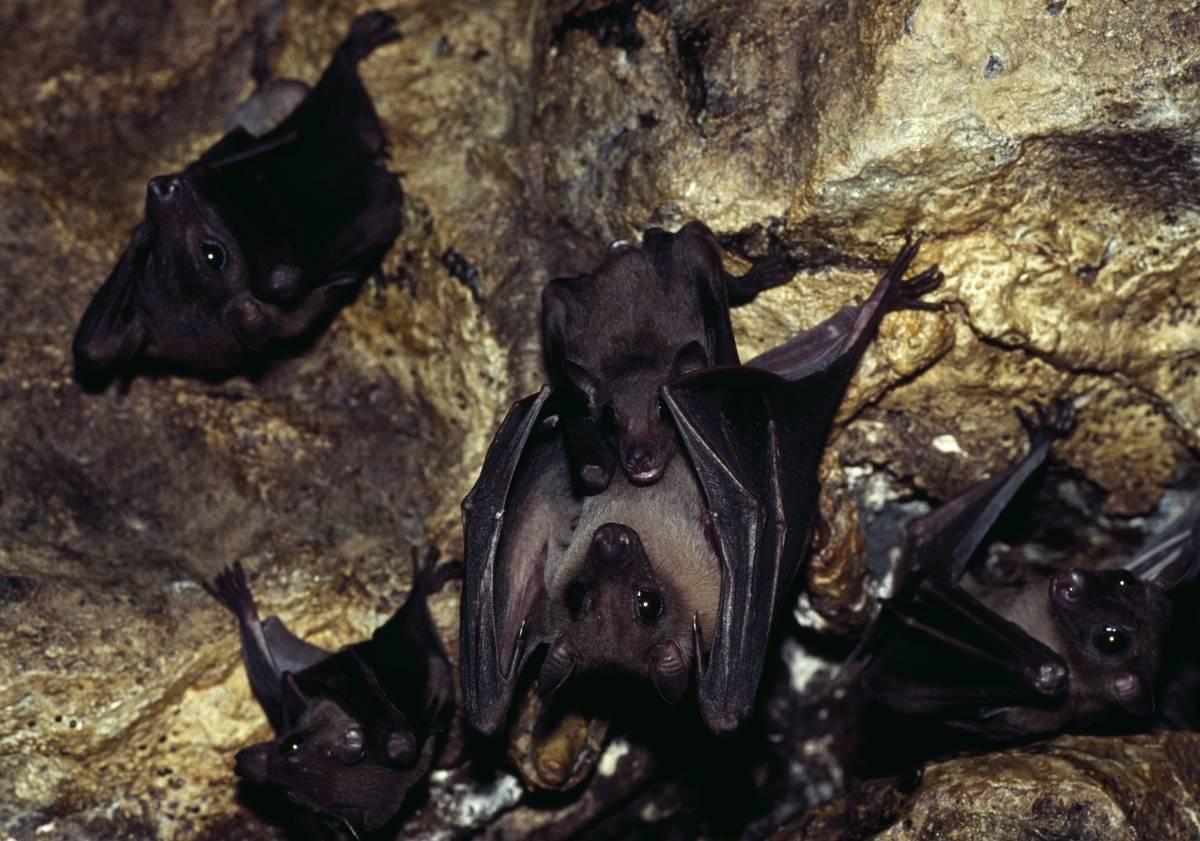 Lesser short-nosed fruit bat hanging in cave