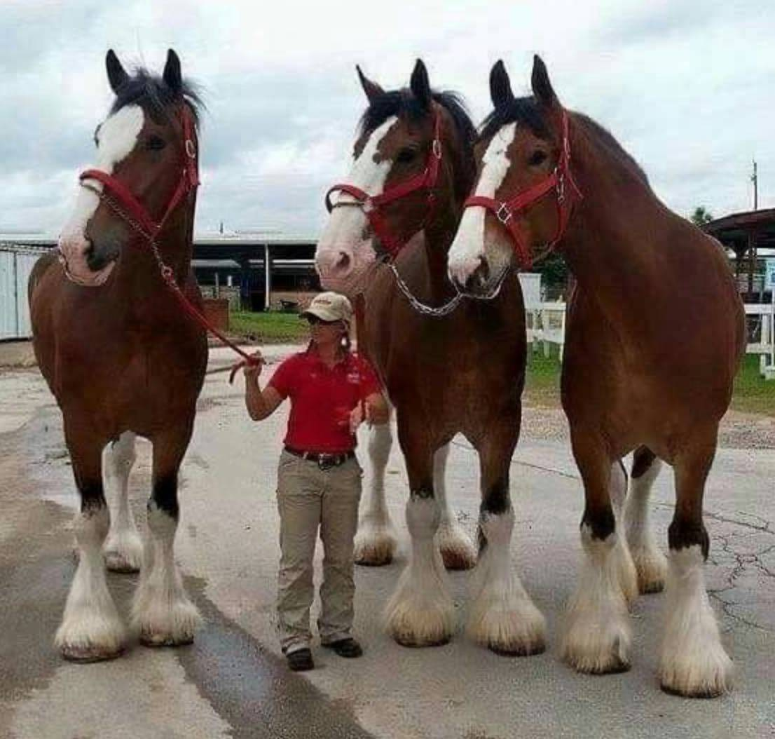 clydesdale horses are twice the height of woman