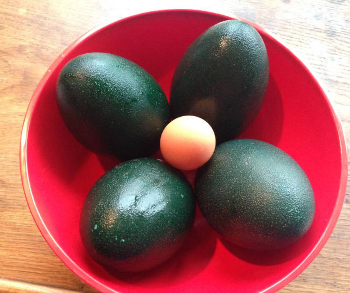 chicken egg surrounded by four large emu eggs