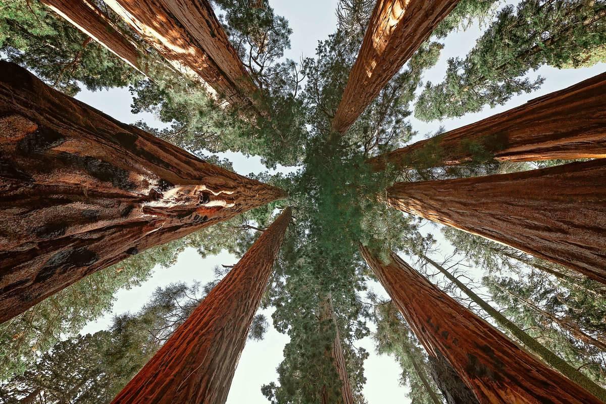 Upward view of giant sequoias in Sequoia National Park, California, USA.