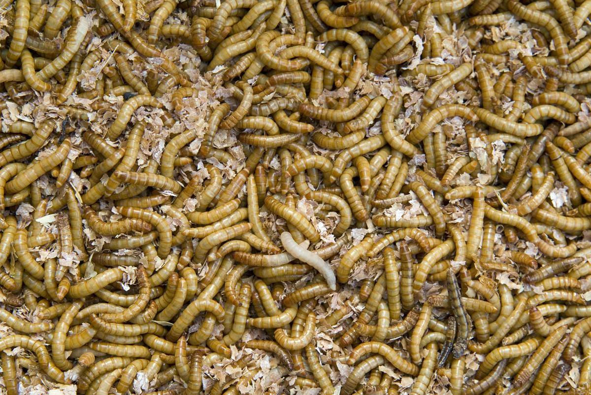 mealworms piled on each other