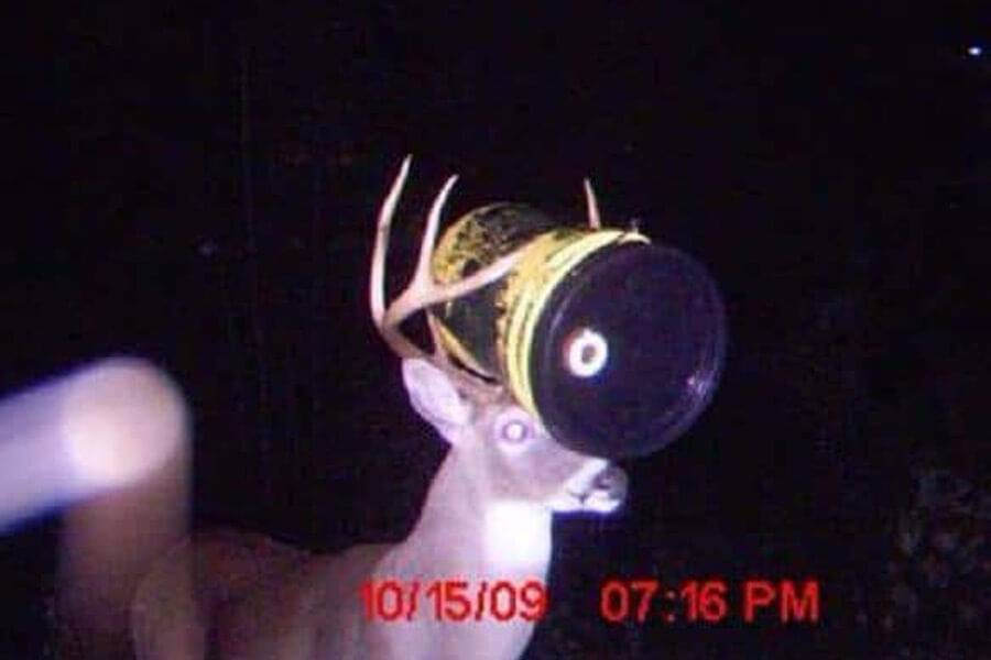 deer with barrel on head