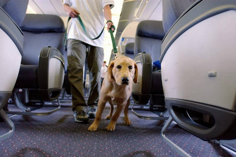 A guide dog is walked down a plane aisle.