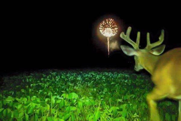 deer watching some fireworks