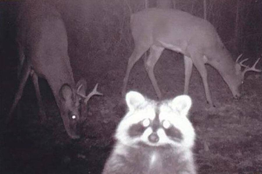 raccoon stare at the cam