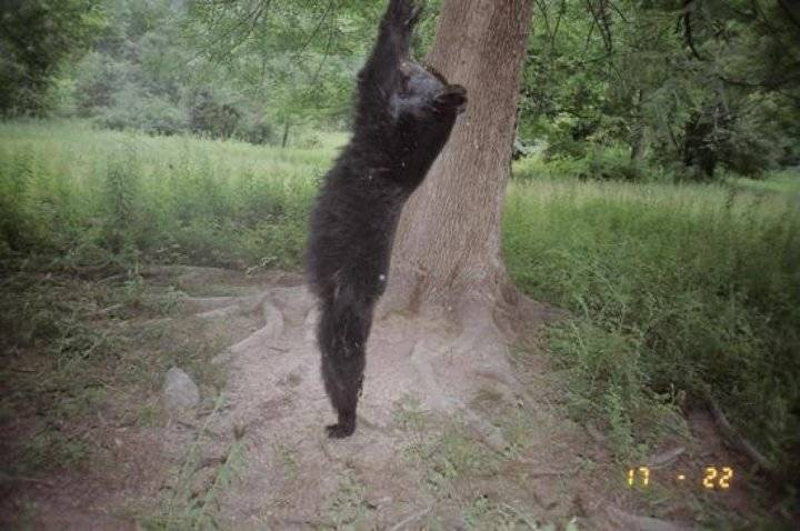 stretching bear in the woods
