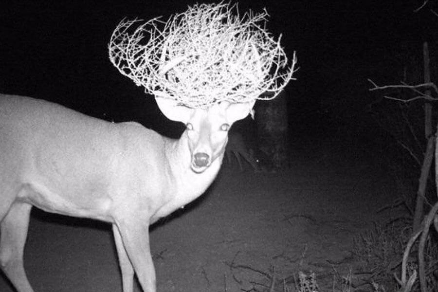 tumble deer at night