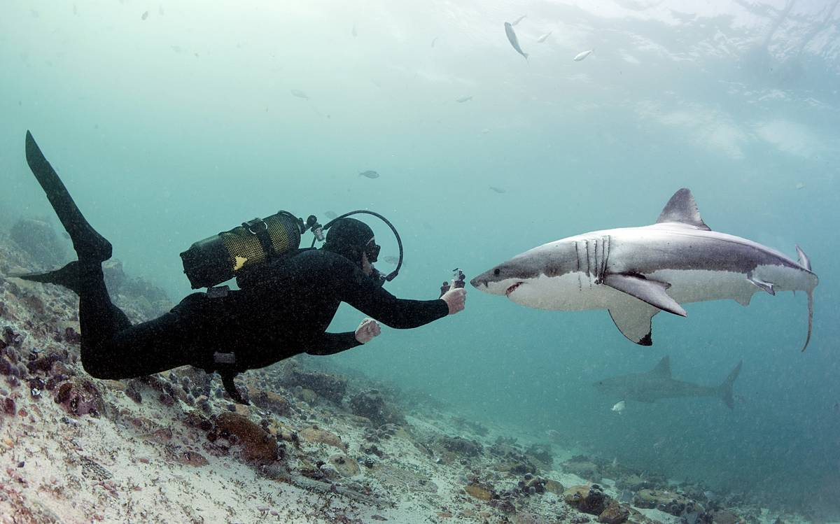 A diver takes photos of great white sharks in Shark Alley, South Africa.
