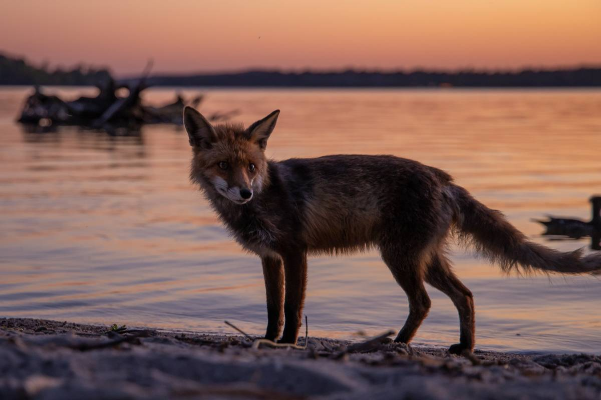 A red fox stands on the shoreline.