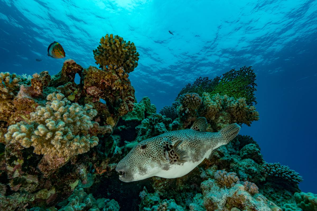 A puffer fish swims among a reef.