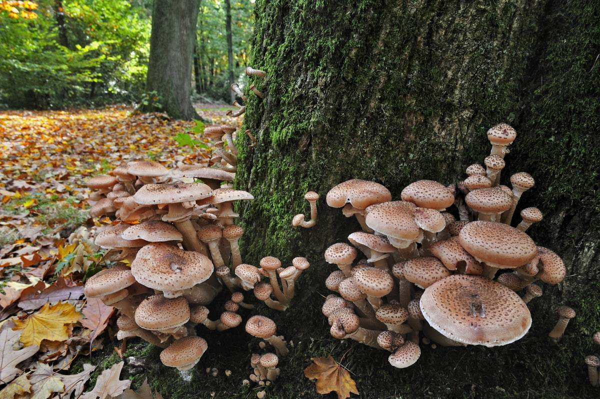 Dark honey fungus grows next to a tree trunk.