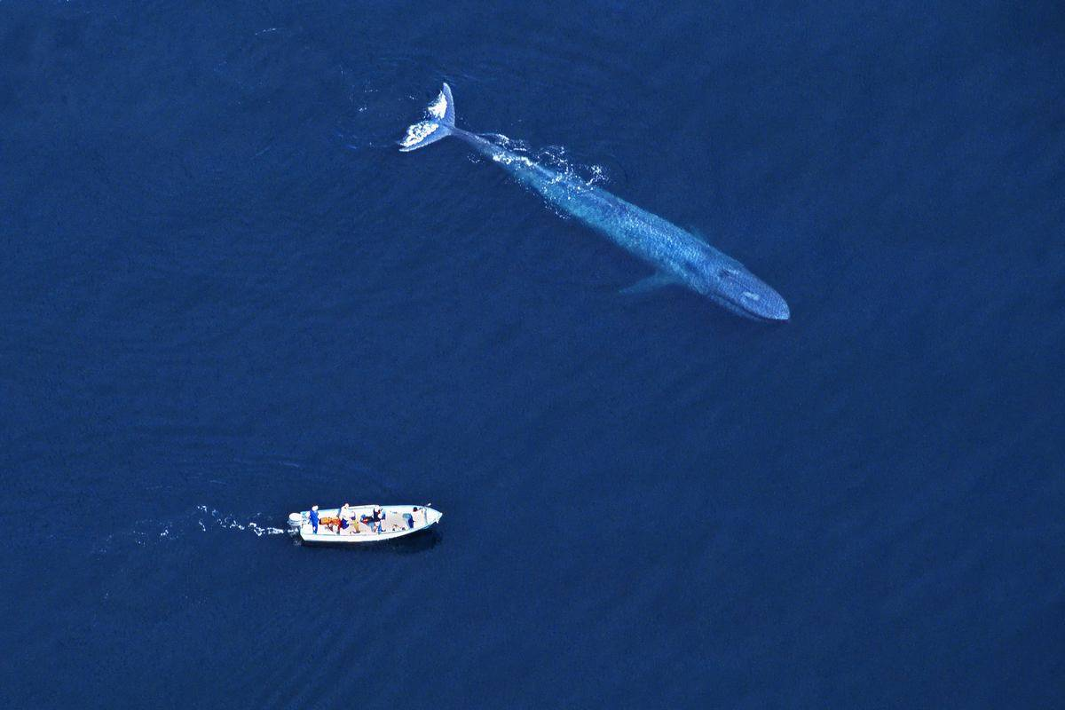 A blue whale swims by a boat.