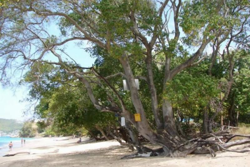 The dangerous Manchineel Tree grows along a beach with warning signs nailed into its trunk.