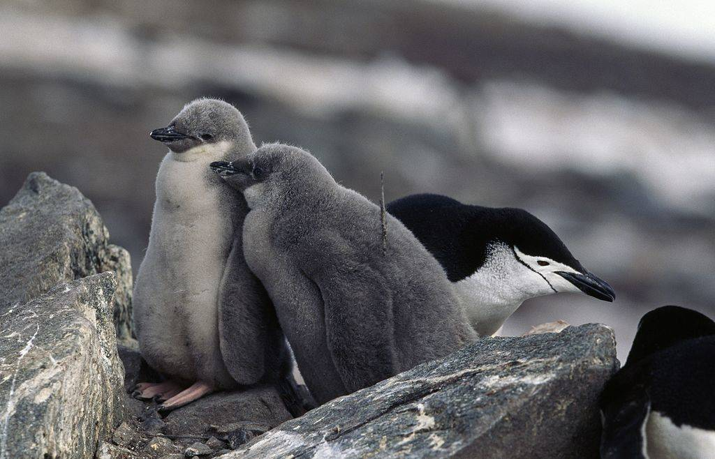 Young Chinstrap Penguins on half moon island in antarctica