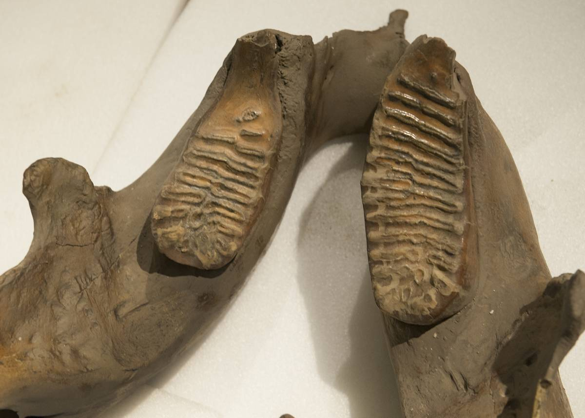 woolly-mammoth-jaw-and-molars