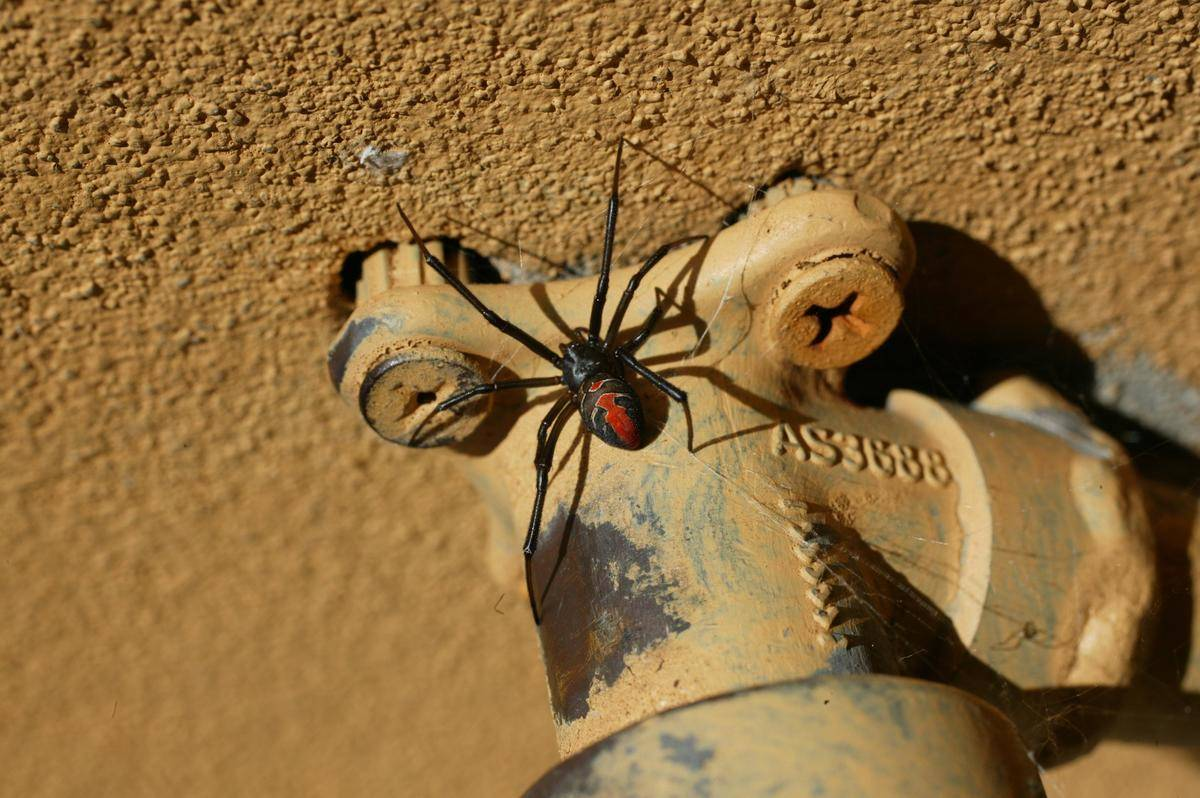 A red back spider lurking under a backyard tap, 10 March 2005. SMH Picture by