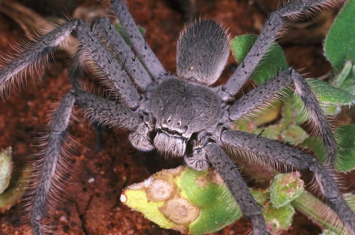 Huntsman spider, family Heteropodidae, Kalgoorlie, Western Australia