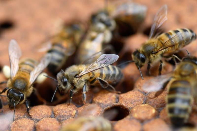 bees on honey frames
