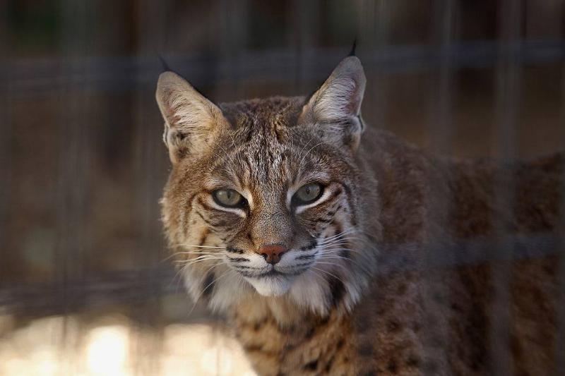 A rescued bobcat waits to be fed