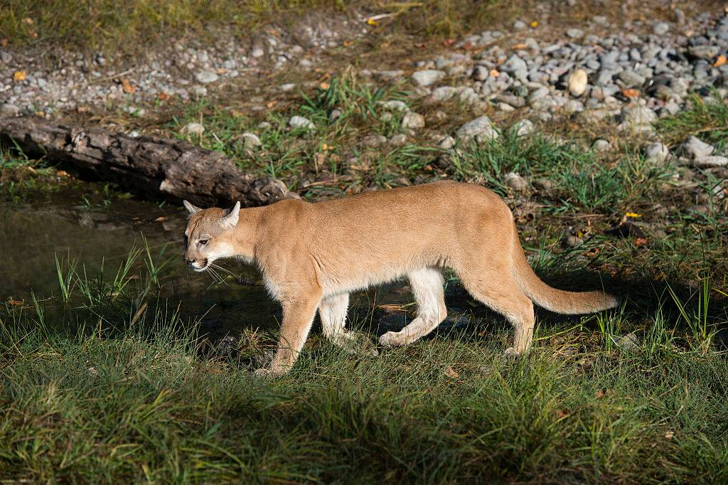 a young cougar walking on the grass