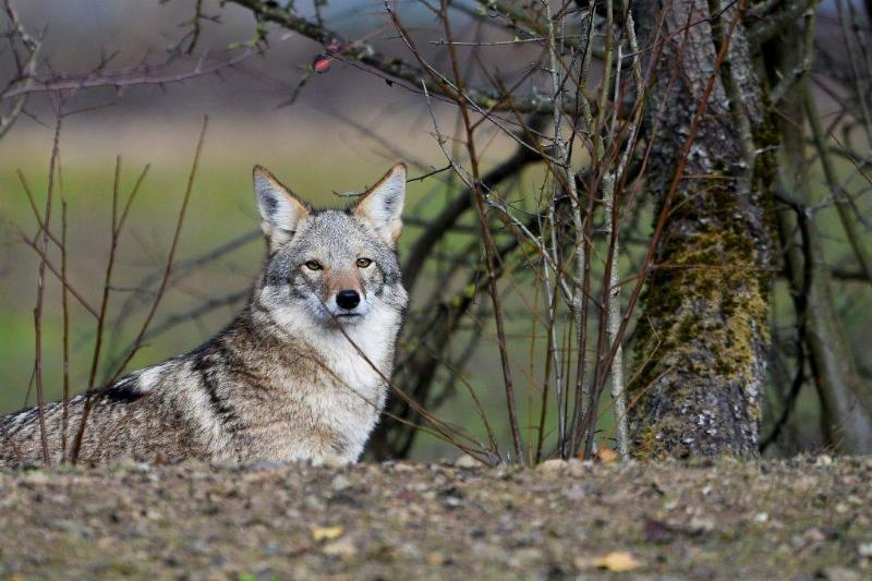 A coyote stands in the animal park