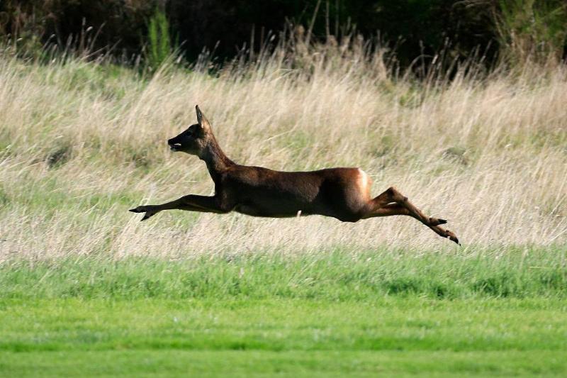 A deer runs across the grass