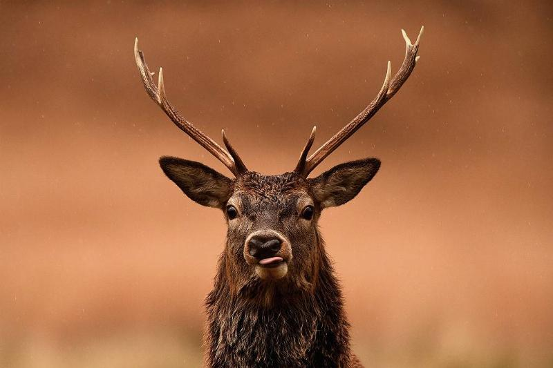 Red deer graze following the end of the rutting season
