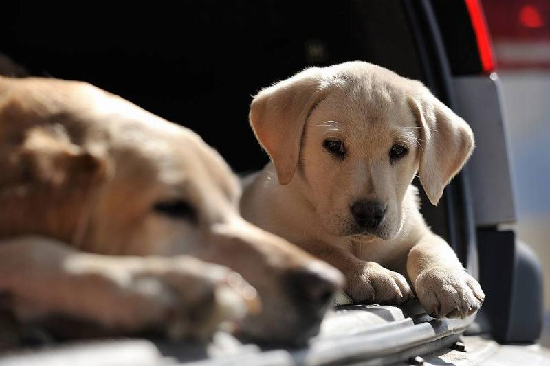 a Labrador Retriever puppy and mother resting in the trunk of a car