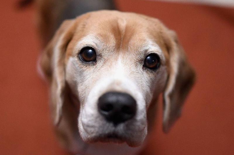an older beagle dog
