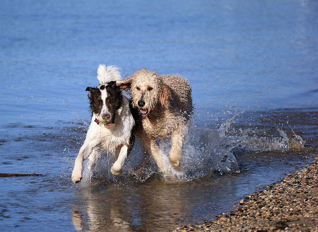 Two dogs, a Golden Doodle and a Border Collie mix play in the water