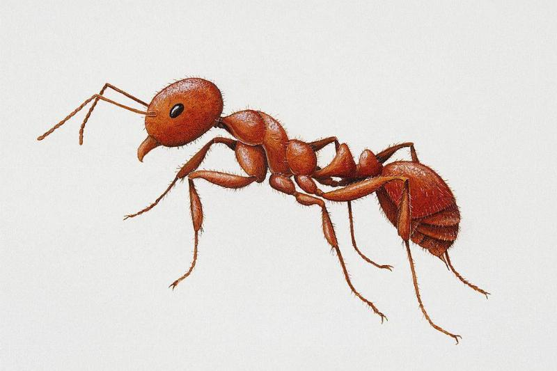 an illustration of a red fire ant