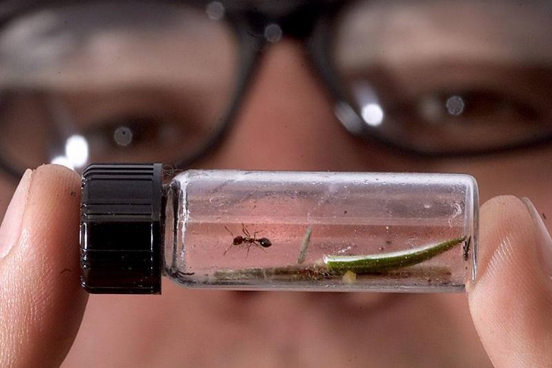 fire ants inside a vial