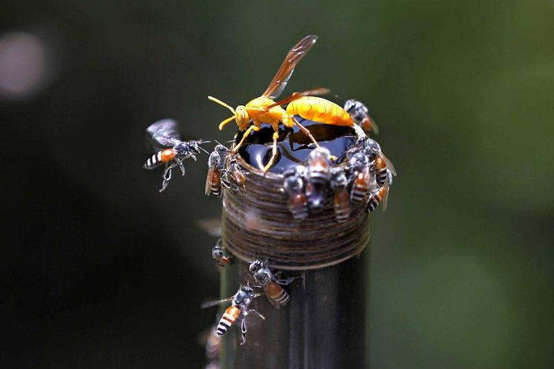 Hornet and Honey Bee flies around a water pipe during a hot weather