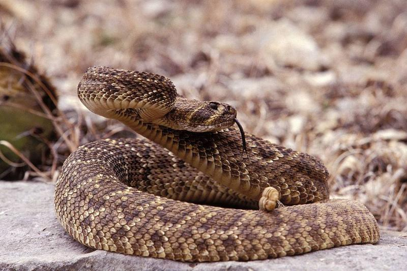 A western diamondback Rattlesnake out of his burrow