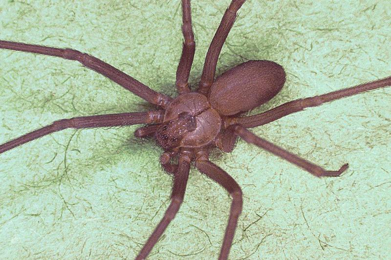 a brown recluse spider against a green background
