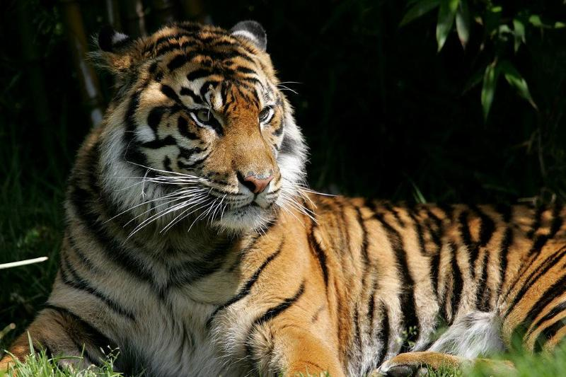 A Sumatran tiger, an endangered animal species, sits in its exhibit at the San Francisco Zoo