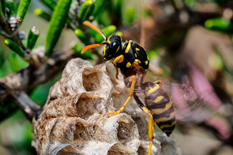 A paper wasp builds a honeycomb shaped paper nest