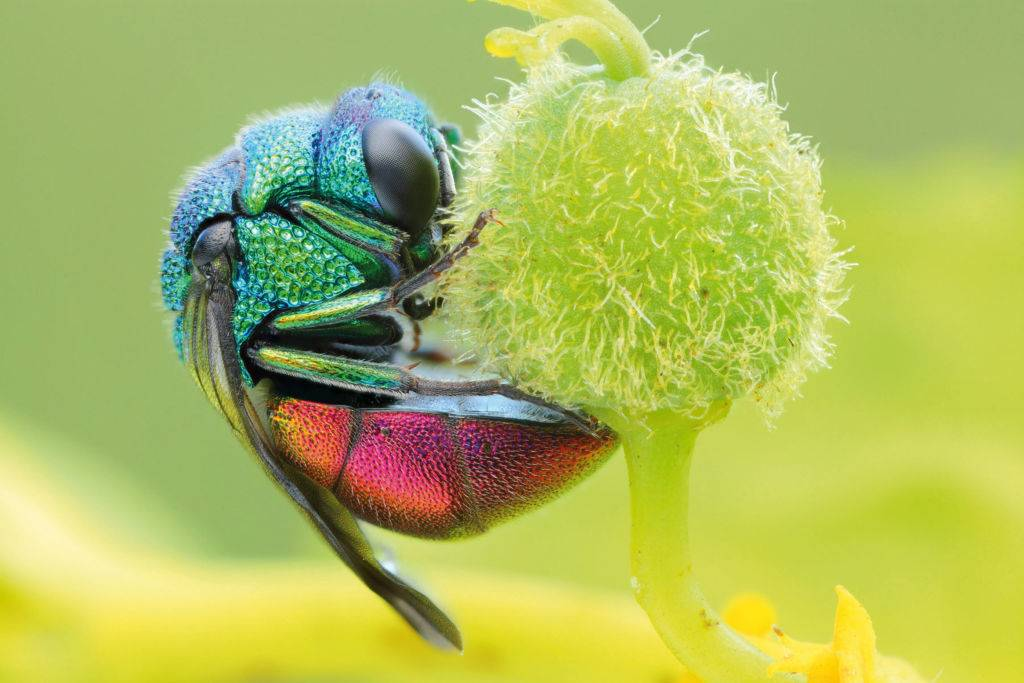 Close-up detail of a ruby-tailed wasp