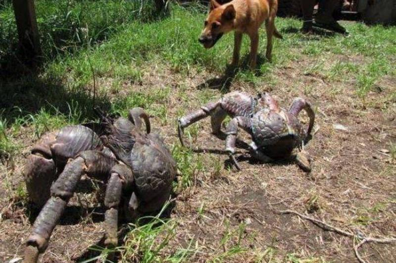 And-coconut-crabs-can-live-up-to-120-yrs-29162